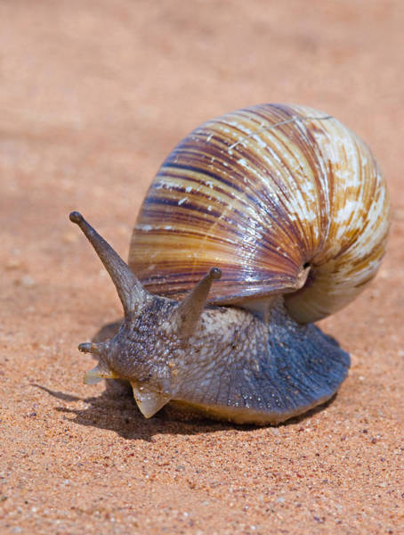 Tarangire Photograph - Close-up Of A Giant African Land Snail by Panoramic Images