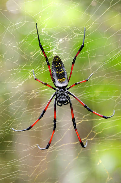 Orb Photograph - Close-up Of A Golden Silk Orb-weaver by Panoramic Images