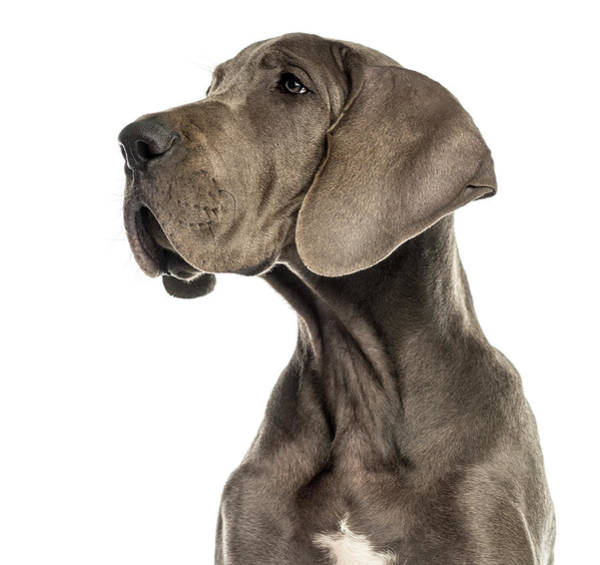 Great Dane Photograph - Close-up Of A Great Dane by Life On White