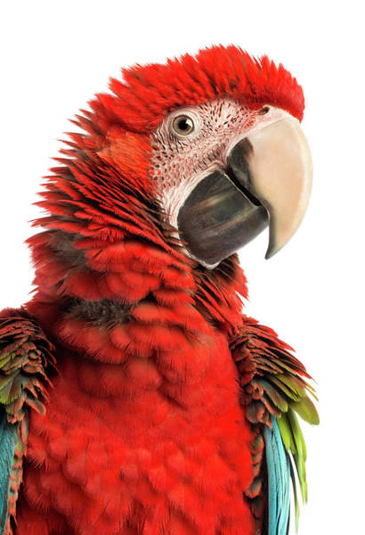 Macaw Photograph - Close-up Of A Green-winged Macaw by Life On White