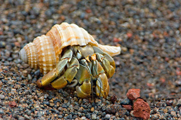 Galapagos Islands Wall Art - Photograph - Close-up Of A Hermit Crab Coenobita by Panoramic Images