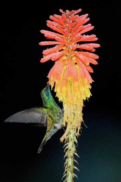 Red-hot Poker Photograph - Close-up Of A Hummingbird Feeding by Animal Images