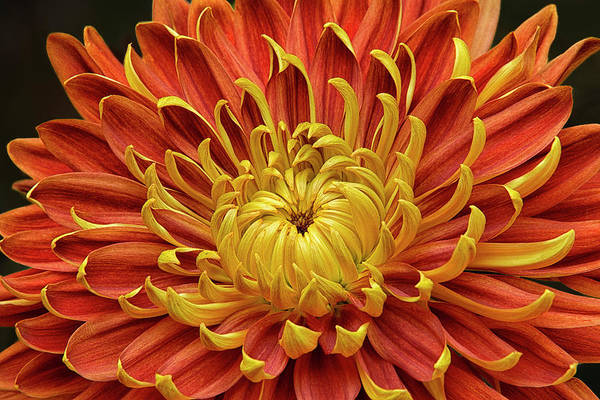 Asteraceae Photograph - Close-up Of A Japanese Fall-flowering by Rona Schwarz