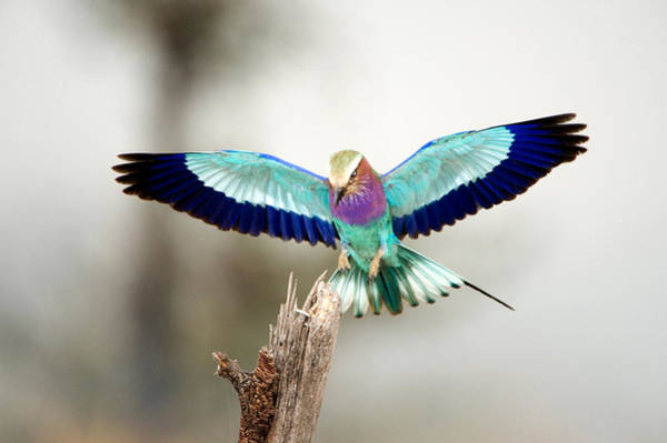 Tarangire Photograph - Close-up Of A Lilac-breasted Roller by Panoramic Images