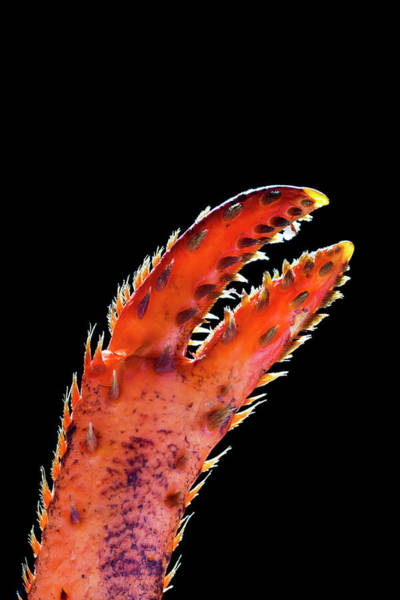 Wall Art - Photograph - Close Up Of A Lobster Claw by Michael Interisano