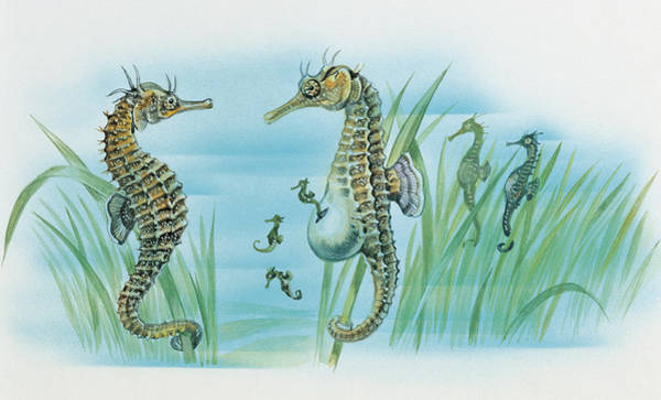 Aqua Drawing - Close-up Of A Male Sea Horse Expelling Young Sea Horses by English School
