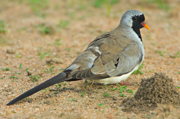 Tarangire Photograph - Close-up Of A Namaqua Dove, Tarangire by Panoramic Images