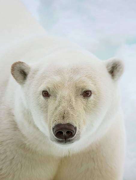 Victim Photograph - Close Up Of A Polar Bears Head by Peter J. Raymond