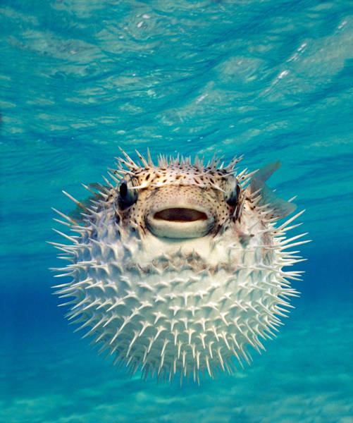 Spikes Photograph - Close-up Of A Puffer Fish, Bahamas by Panoramic Images