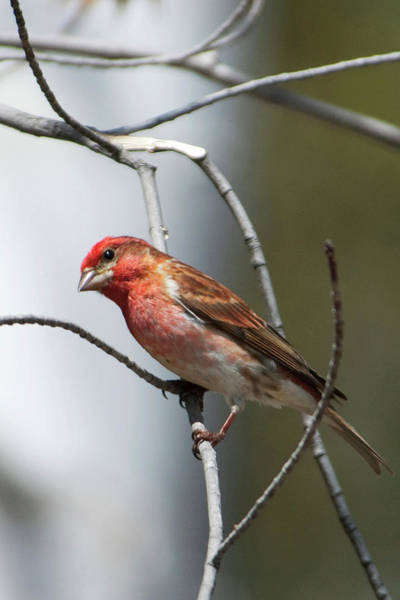 Animal Place Photograph - Close-up Of A Red-headed Purple Finch by John Orcutt