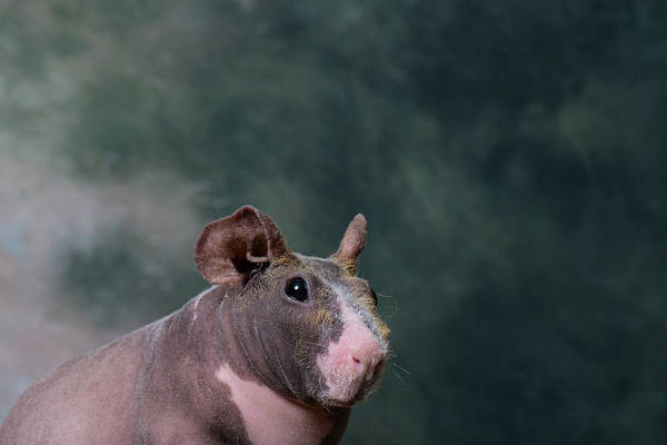Body Parts Photograph - Close-up Of A Skinny Pig by Panoramic Images