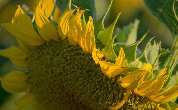 Photograph - Close Up Of A Sunflower by Rima Biswas