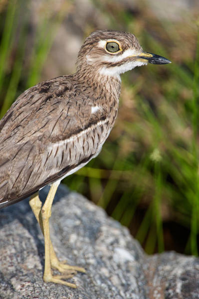 Tarangire Photograph - Close-up Of A Water Thick-knee Burhinus by Panoramic Images