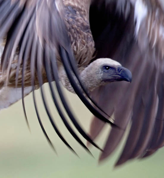 Wing Back Photograph - Close-up Of A White-backed Vulture by Animal Images