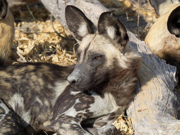 Okavango Delta Photograph - Close-up Of An African Wild Dog Lycaon by Panoramic Images