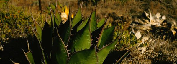 Baja California Peninsula Wall Art - Photograph - Close-up Of An Aloe Vera Plant, Baja by Panoramic Images