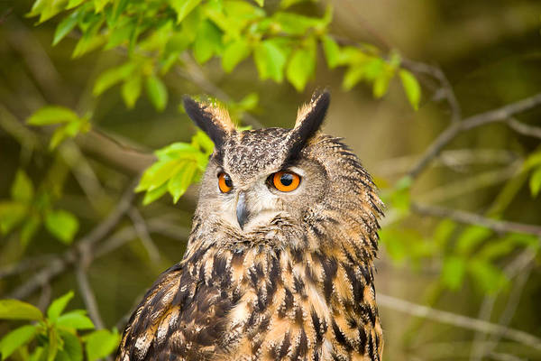 Wall Art - Photograph - Close-up Of An Eagle Owl by Panoramic Images