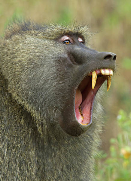 Animal Behavior Photograph - Close-up Of An Olive Baboon Papio by Animal Images