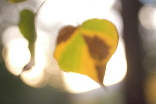 Wall Art - Photograph - Close-up Of Aspen Leaves In Autumn by Phil Schermeister