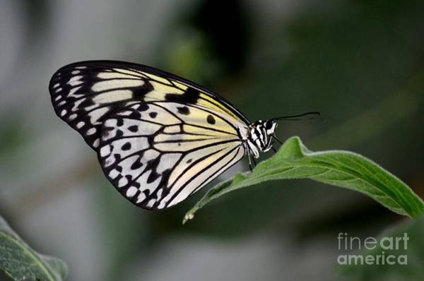 Photograph - Close Up Of Beautiful Malabar Tree Nymph Butterfly Resting On Leaf  by Imran Ahmed