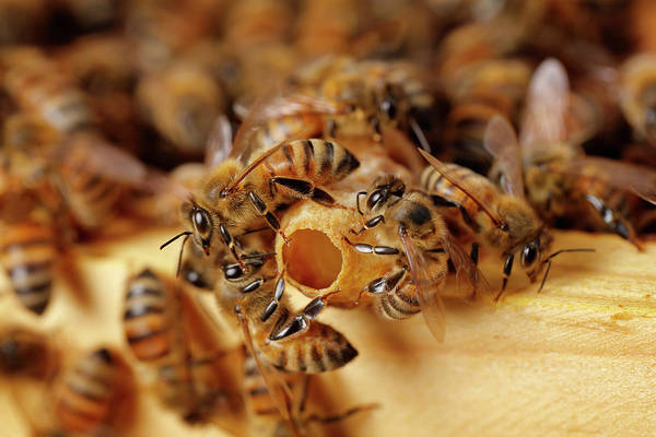 Bee Hive Photograph - Close Up Of Bees Working In Hive by Paul E Tessier