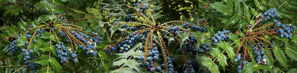 Wall Art - Photograph - Close-up Of Berries Growing On Tree by Panoramic Images