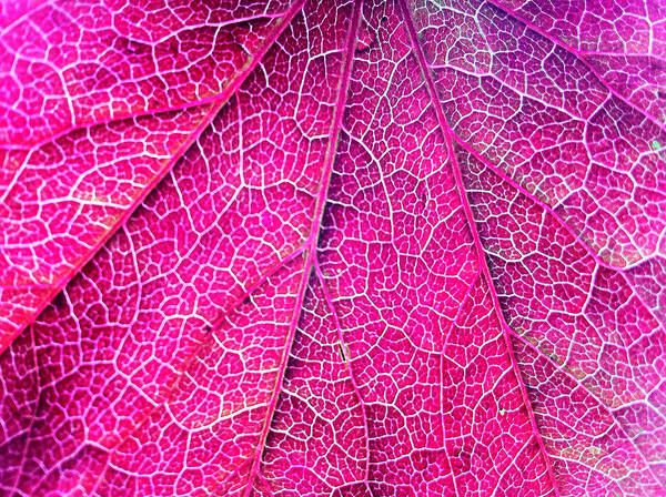 Wall Art - Photograph - Close Up Of Boston Ivy Leave by Nazrie Abu Seman