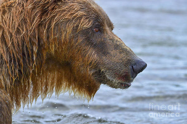 Photograph - Close Up Of Brown Bear Showing Salmon Red On Fur by Dan Friend