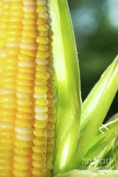 Wall Art - Photograph - Close-up Of Corn An Ear Of Corn  by Sandra Cunningham