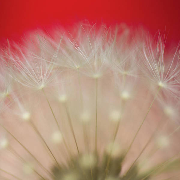 Fragility Photograph - Close-up Of Dandelion by Mr Din - Www.flickr.com/fabulist