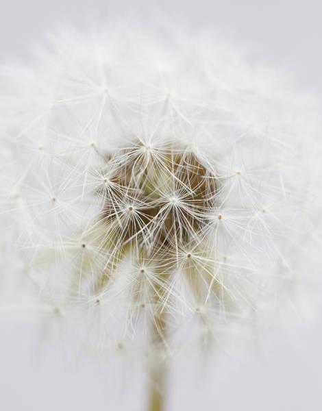 Fragility Photograph - Close-up Of Dandelion by Yusuke Murata