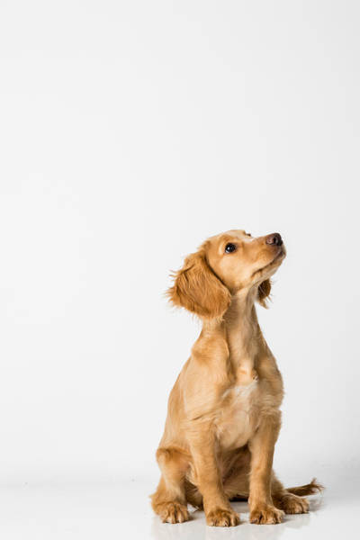Close-up Of Dog Sitting Against White Background Art Print by Peter Rose / EyeEm
