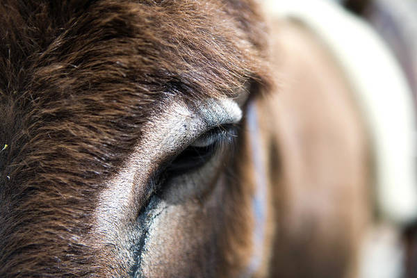 Dodecanese Photograph - Close-up Of Donkey Eye by Holger Leue