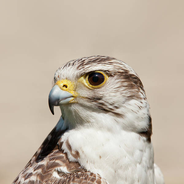 Photograph - Close Up Of Falcon Bird by Roc Canals Photography