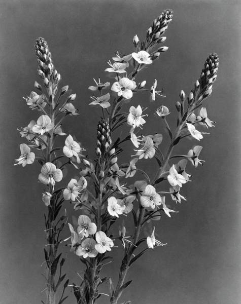 Photograph - Close Up Of Gentian Speedwell Flowers by J. Horace McFarland