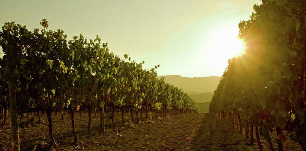Winemaking Photograph - Close Up Of Grapevines At Sunset by Walter Zerla