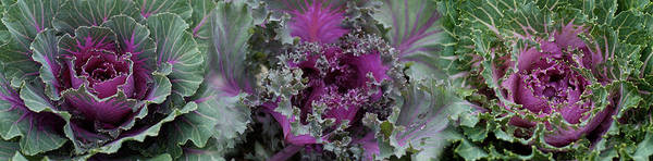 Kale Photograph - Close-up Of Green And Purple Kale by Panoramic Images