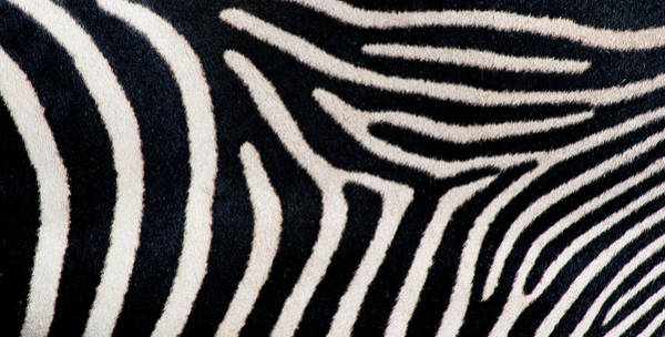 Wall Art - Photograph - Close-up Of Greveys Zebra Stripes by Animal Images