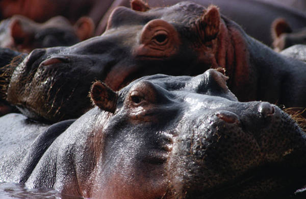 Hippo Photograph - Close Up Of Hippo Herd Hippopotamus by Lawrence Worcester