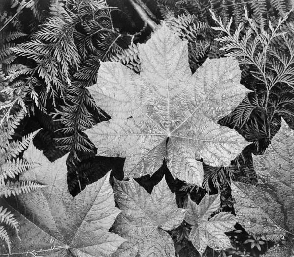 Ferns Digital Art - Close Up Of Leaves by Ansel Adams