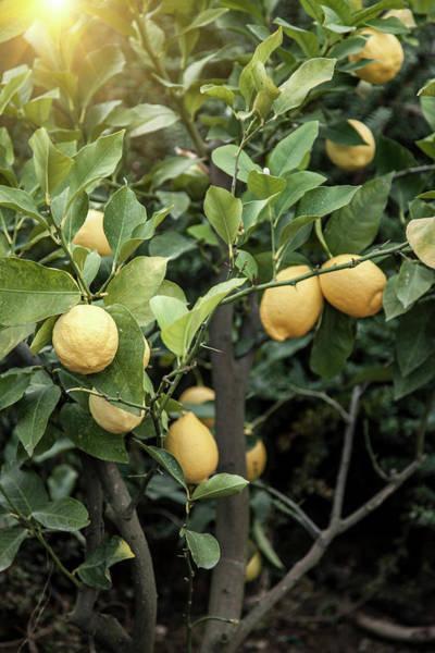 Lemon Photograph - Close Up Of Lemon Tree In Chieti by Walter Zerla