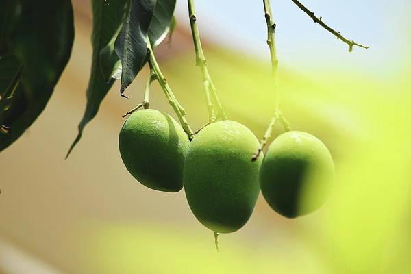 Mangos Photograph - Close-up Of Mangoes Hanging From Twig by Sukh Simran Singh Gandam / Eyeem