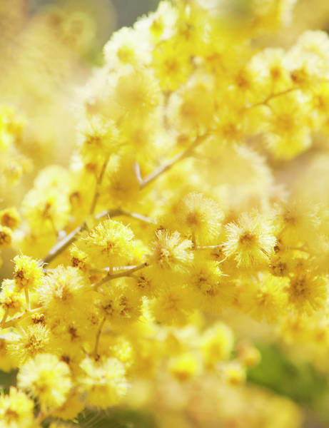 Mimosas Photograph - Close-up Of Mimosa Flowers by Johner Images