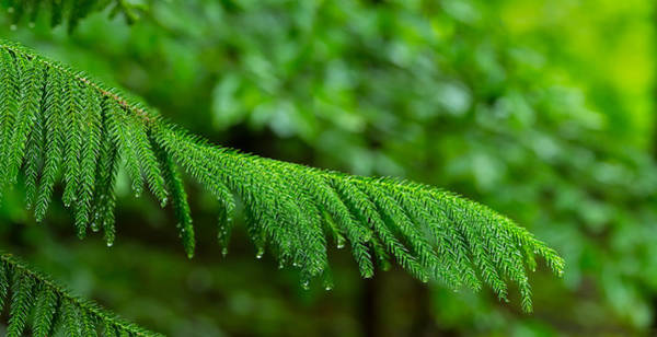 Norfolk Pine Wall Art - Photograph - Close-up Of Norfolk Island Pine by Panoramic Images