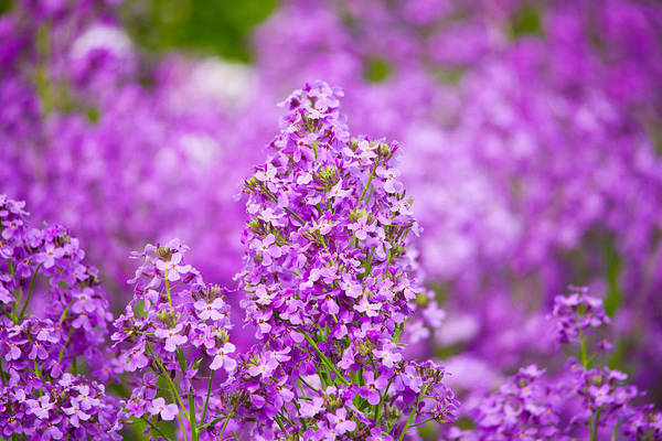 Fireweed Photograph - Close-up Of Pink Fireweed Flowers by Panoramic Images