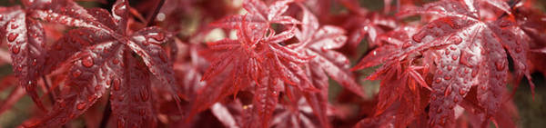 Wall Art - Photograph - Close-up Of Raindrops On Red Coleus by Panoramic Images