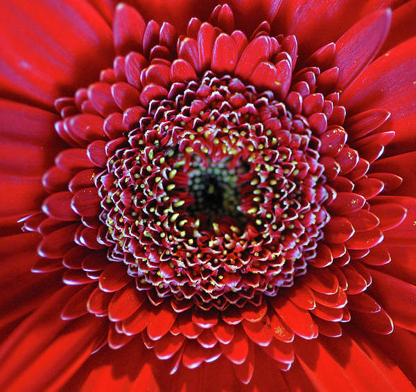 Anna Photograph - Close-up Of Red Daisy by Anna Miller
