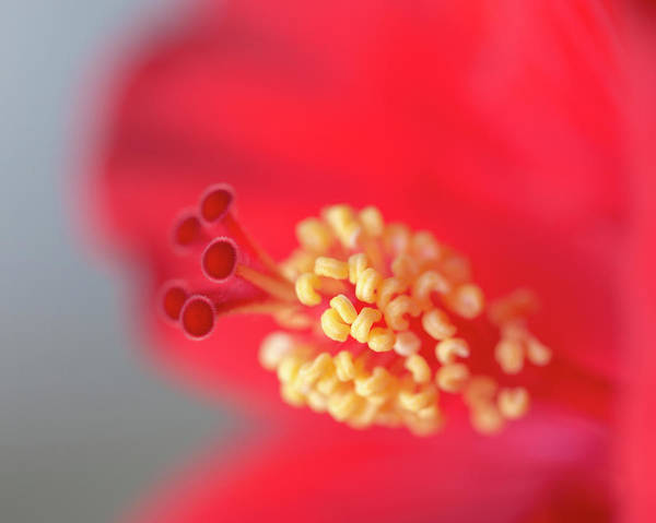 Mallow Family Photograph - Close-up Of Red Hibiscus Flowering by Maresa Pryor