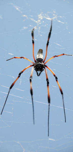 Golden Orb Spider Photograph - Close-up Of Red-legged Golden Orb-web by Animal Images