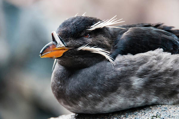 Wall Art - Photograph - Close-up Of Rhinoceros Auklet by Turner Forte
